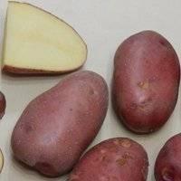 Описание картофеля «невский» с фото — характеристика сорта и отзывы