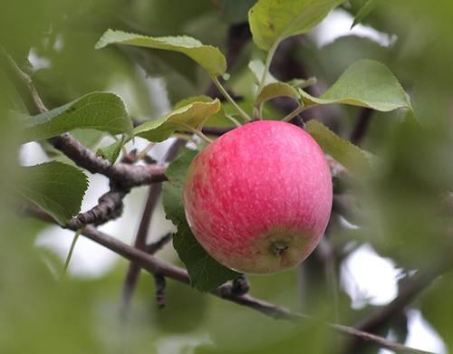 Башкирский красавец яблоня фото. яблоня башкирский красавец (башкирская красавица)