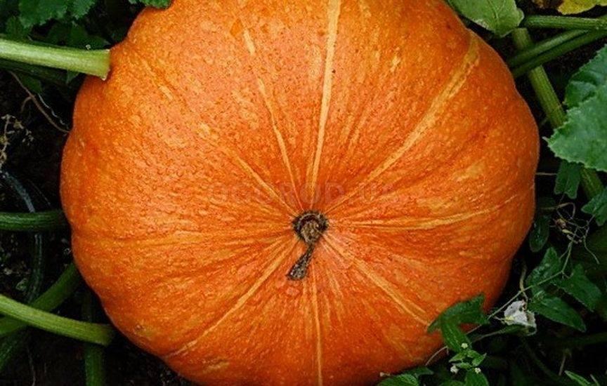Крупноплодный сорт с позитивным названием — тыква «улыбка»: секреты агротехники для получения обильного урожая