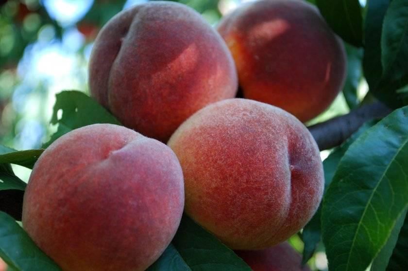 Персик ветеран — описание сорта и отзывы садоводов