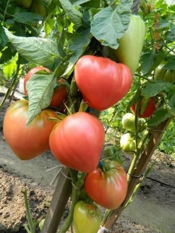 Описание и характеристики сорта томатов мишка косолапый, урожайность и выращивание