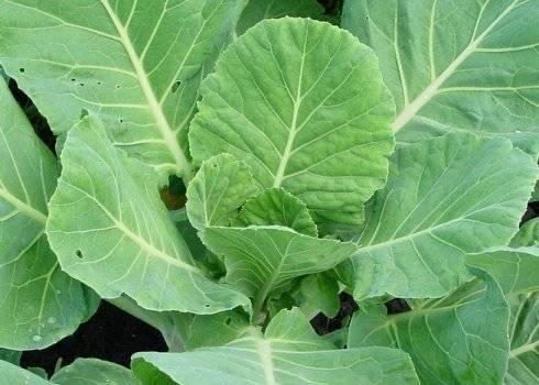 5 лучших народных средств для обработки капусты от слизней и гусениц