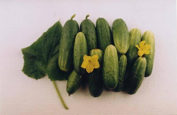 Урожай приятных ароматных плодов каждые два дня — огурец многодетный f1: описание сорта