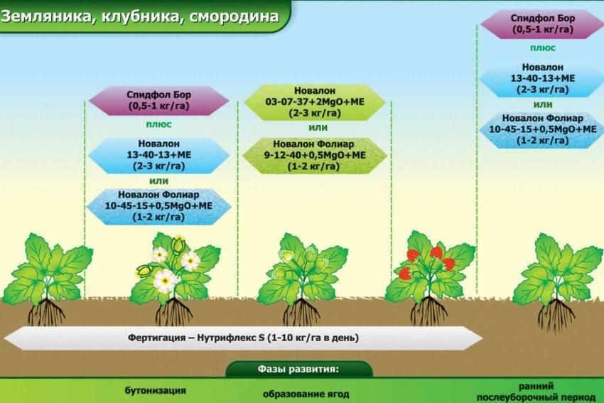 Нормы и особенности внекорневой подкормки картофеля