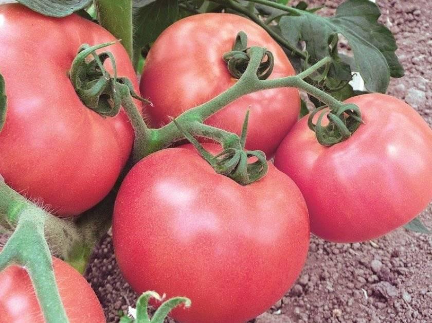 Нежный томат розмарин (розамарин f1): все об уходе за крупноплодным гибридом. секреты выращивания