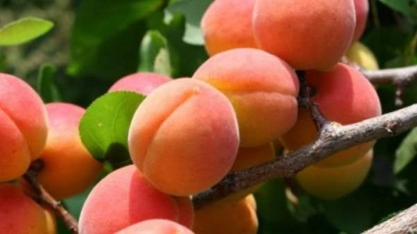 Секреты выращивания абрикосов в сибири