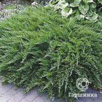 Можжевельник казацкий глаука (juniperus sabina glauca)