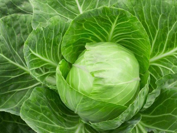 Капуста глория: особенности и характеристика сорта, выращивание и уход