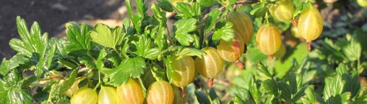 Крыжовник алтайский номерной: характеристика, особенности выращивания и размножения