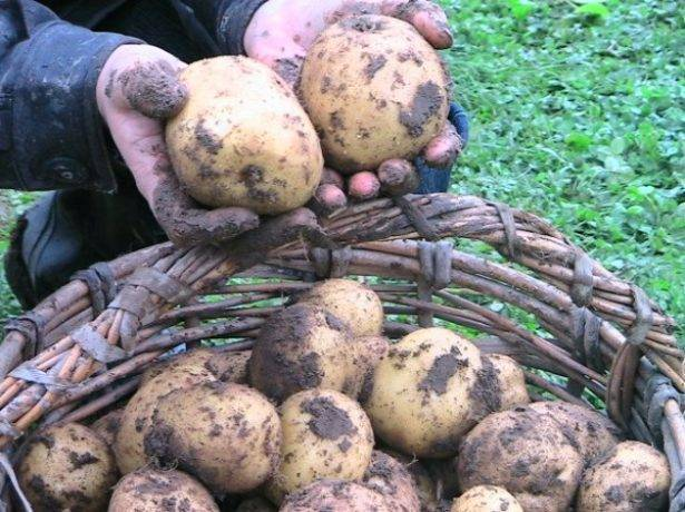 Сорт картошки винета: описание сорта, полезные свойства, отзывы