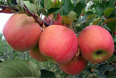 Яблоня «чемпион»: описание сорта, фото, отзывы