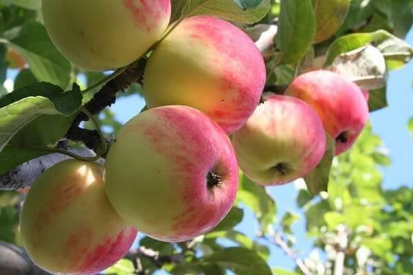 Секреты выращивания яблони пепин шафранный — от посадки до хранения