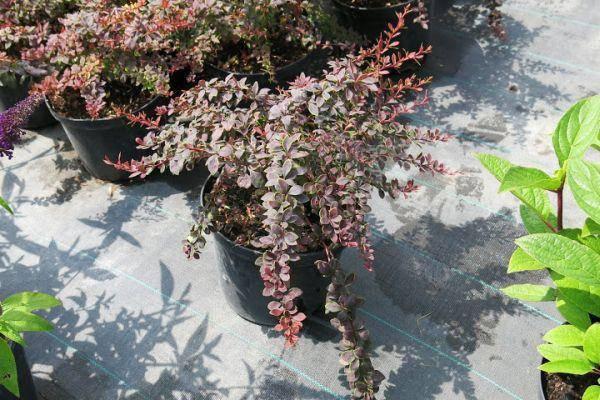 Барбарис тунберга коронита описание — ягоды грибы