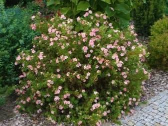 Розовые лилии: описание сортов и советы по их выращиванию