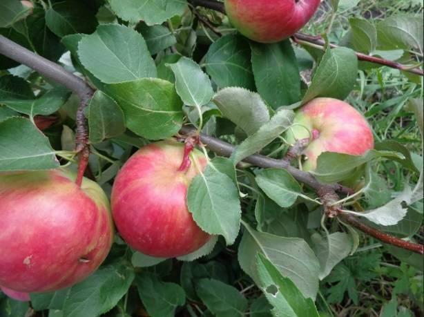 Яблоня Первоуральская: описание, фото, выращивание, отзывы садоводов