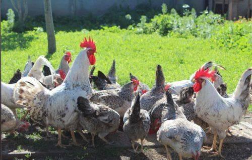 Порода кур борковская барвистая: правила выращивания