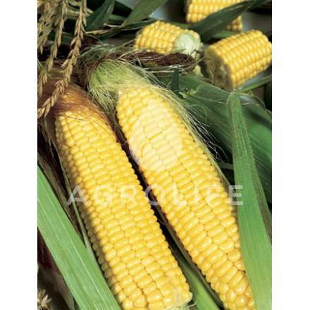 Кукуруза мегатон — описание сорта, фото и отзывы