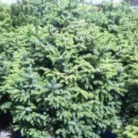 Описание сортов и выращивание ели сербской (picea omorika)