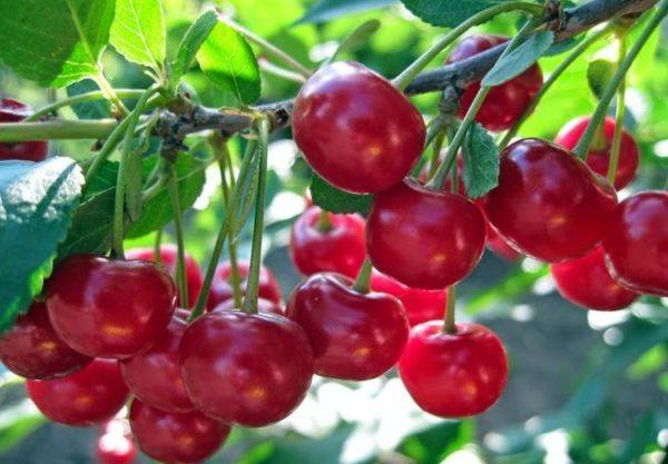 Инструкции по пересадке вишни