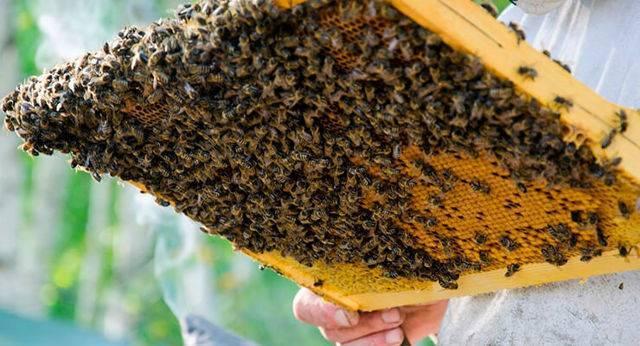 Маточники пчел: виды, формирование, вырезание, закладка в пчелосемью