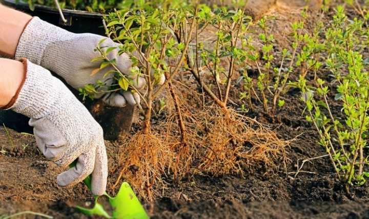 Кустарник бирючина для живой изгороди: фото, сорта, посадка и уход