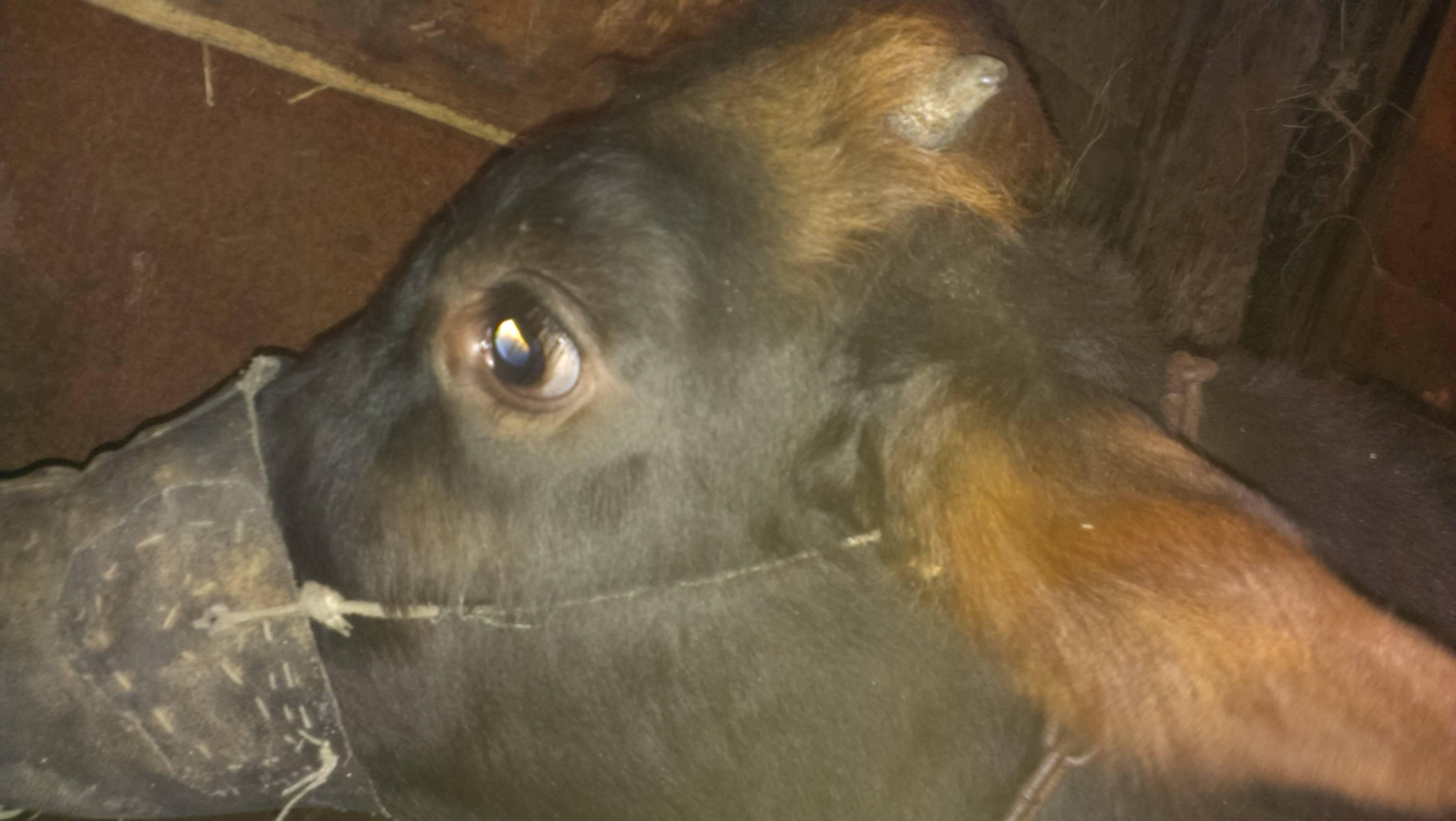 Как отучить теленка от коровы: эффективные методы отучения от вымени