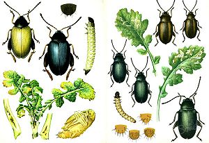 Горчица и уксус от колорадского жука — помогут ли эти средства?