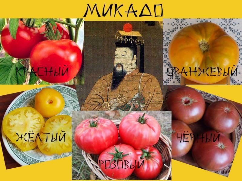 Сорт томата «микадо»: описание, характеристика, посев на рассаду, подкормка, урожайность, фото, видео и самые распространенные болезни томатов