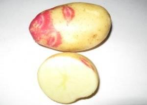 Сорт картофеля «лорх»: характеристика, описание, урожайность, отзывы и фото