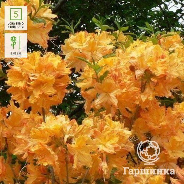 """Азалия """"мандарин лайтс"""": описание японского рододендрона, история возникновения, особенности ухода за цветком и другая информация"""