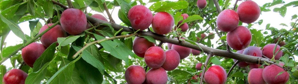 Слива маньчжурская красавица: описание сорта, фото, отзывы