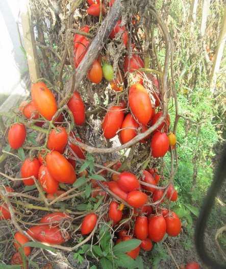 Сорт томата «черная груша»: фото, отзывы, описание, характеристика, урожайность