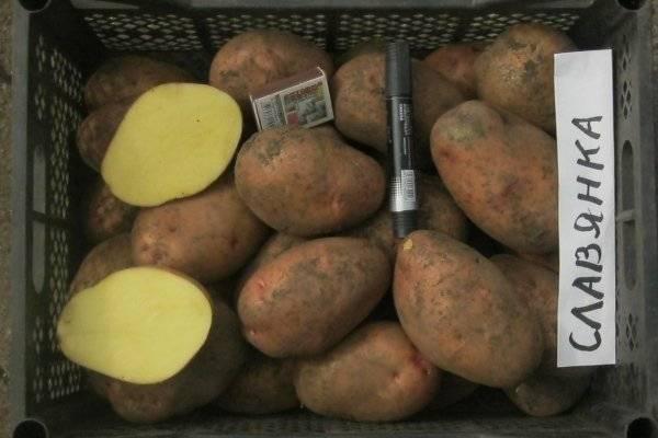 Картофель славянка описание