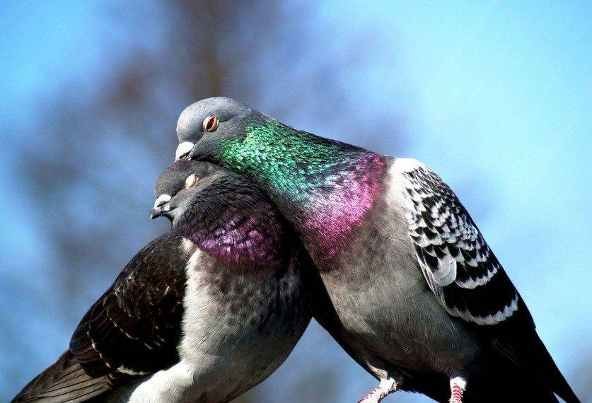 Сколько в среднем живут домашние и уличные голуби