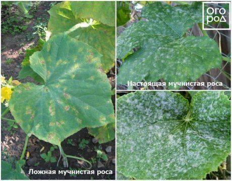 Как продлить плодоношение огурцов в августе и сентябре