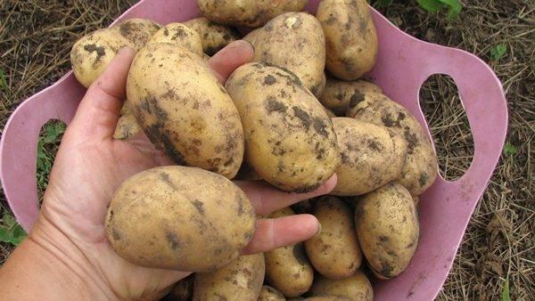 Раннеспелый столовый сорт картофеля «колетте», который плодоносит дважды в сезон