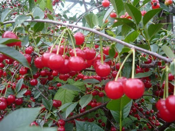 Описание неприхотливого урожайного сорта вишни брусницына