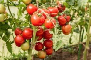 Комнатный сорт помидора «линда»: фото, видео, отзывы, описание, характеристика, урожайность