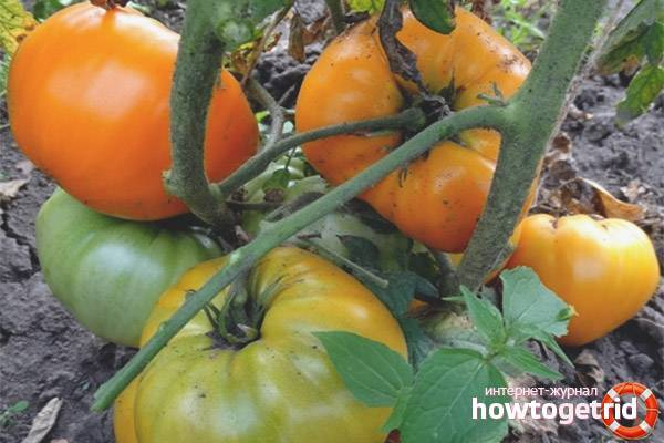 Томат оранжевая клубника немецкая: характеристика и описание сорта, урожайность с фото