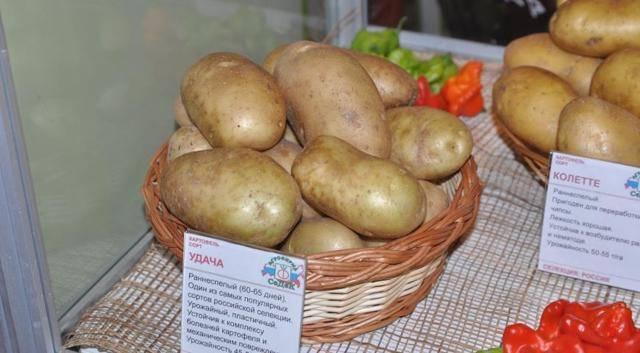 Обзор лучших сортов картофеля для подмосковья