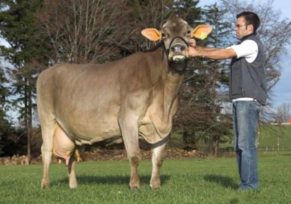 Порода коров лимузин: полная характеристика