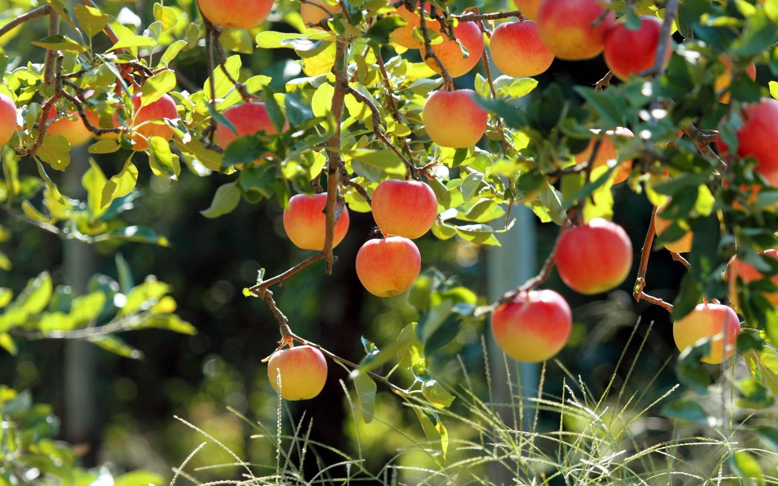 Если появилась парша на яблоне, как бороться летом? советы агрономов
