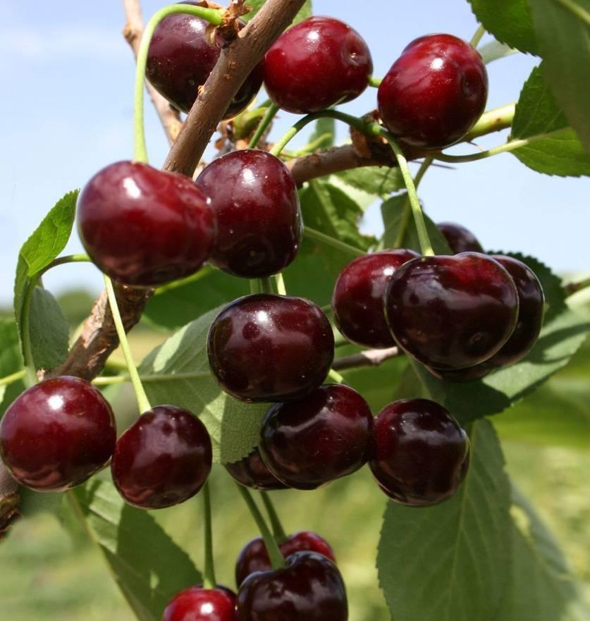 Вишня владимирская — описание сорта, фото, отзывы садоводов