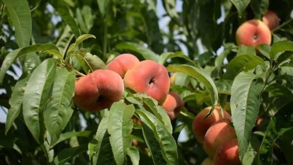 Инжирный персик — что за растение
