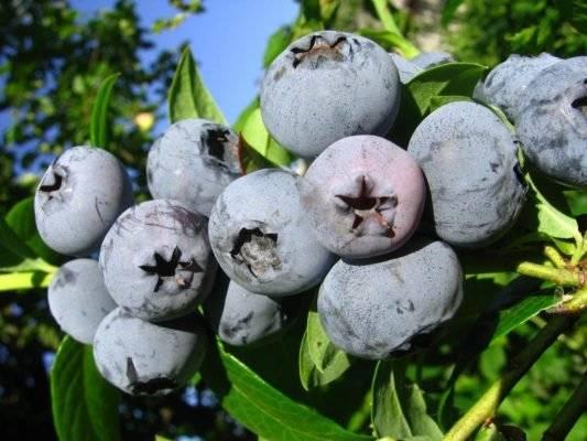 Голубика бонус — ягоды грибы