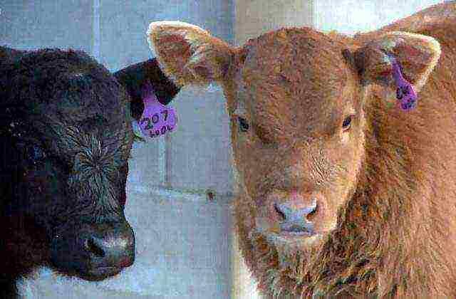 Особенности выращивания бычков на откорм: как и чем кормить молодняк