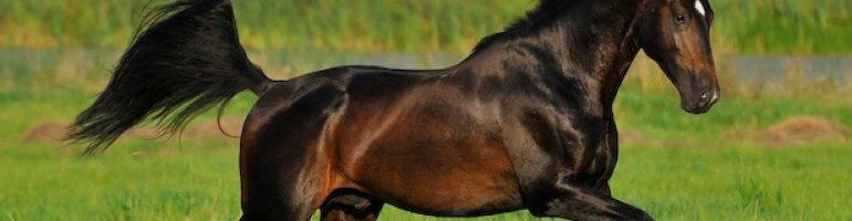 Голштинская порода лошадей фото характеристика