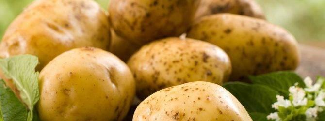 Преимущества сорта картофеля удача