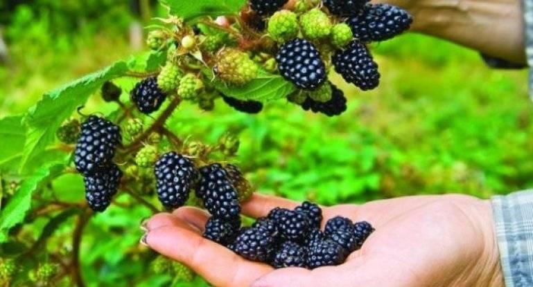 Сорт торнфри: обильный урожай из сладких ягод