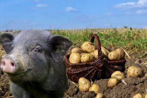 Пастереллез у поросят: симптомы и лечение - ты-фермер